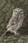 Brown little owl looking at camera while sitting on tree bark — Stock Photo