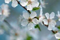 Flores de cerejeira no ramo de árvore — Fotografia de Stock