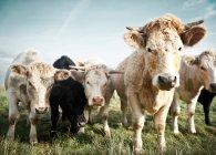 Threatening cows heard looking at camera — Stock Photo