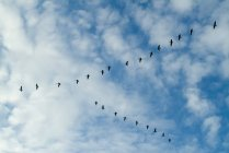 Wild Geese flying in blue sky — Stock Photo