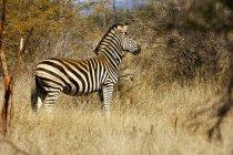 One zebra standing in dry grass field — Stock Photo
