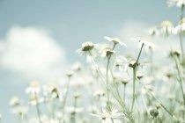 Weißen Feld Kamillenblüten — Stockfoto