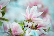 Магнолія квітучих рослин на гілки дерев — стокове фото