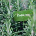 Crescita in erba giardino con carta di carta e il nome della pianta di rosmarino — Foto stock