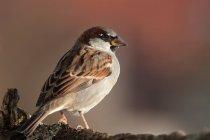 Sparrow bird, house sparrow bird photography — Stock Photo