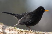 Blackbird turdus merula outdoors — Stock Photo
