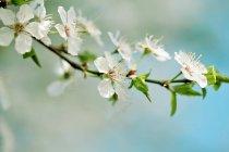 Fleurs de cerisier sur la branche de l'arbre — Photo de stock