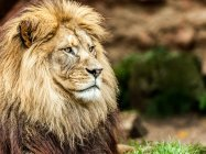 Löwentierporträt in der Natur — Stockfoto