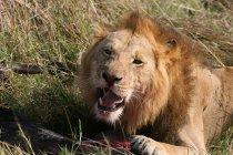 Rugidos de León de peligroso León enojado con carne sobre la hierba, - foto de stock