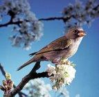 Пересмішника, зелений Фінч птах на весну дерево з квітами — стокове фото