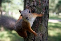Red squirrel on tree and looking at camera — Stock Photo