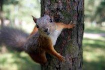Écureuil roux sur l'arbre et en regardant la caméra — Photo de stock