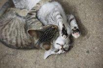 Abrazo de dos gatos juguetones - foto de stock
