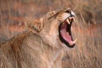 Загрозливі Лева з відкрив рот реве, погрожуючи — стокове фото