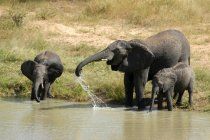 Grey elephants outdoors in nature bathing in water river — Stock Photo