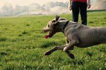 Weimaraner-Hund läuft auf grünen Rasen Wiese, Teilansicht des Besitzers Mann Beine — Stockfoto