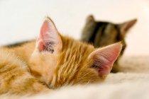 Две кошки сна, животных уши — стоковое фото