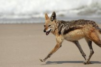 Black-backed jackal running on sandy beach, side view — Stock Photo