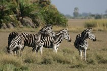 Zebra herd in meadow with grass and trees — Stock Photo