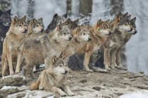 Gruppe von Wölfen im Winterwald — Stockfoto