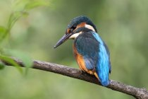 Oiseau de Kingfisher sur branche d'arbre, photographie d'oiseaux — Photo de stock