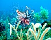 Foto subaquática de recifes de corais e peixes-leão, mar do caribe — Fotografia de Stock