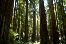 Sequoia trees in redwood national park — Stock Photo