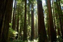 Secuoyas en el Parque Nacional redwood - foto de stock
