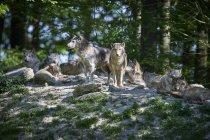 Wölfe im Sommerwald, Tiere in freier Wildbahn — Stockfoto