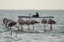 Pink flamingos in sea water and blurred person on background — Stock Photo