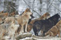 Група вовків в зимовому лісі — стокове фото