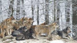 Grupo de lobos en el bosque de invierno - foto de stock