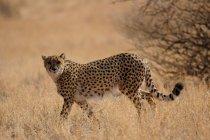 Ghepardo che cammina sul prato pascolo in Africa — Foto stock