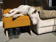 Спящая собака Белый бультерьер на кресло на улице — стоковое фото