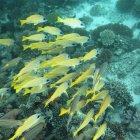 Escuela de peces nadando al arrecife de coral - foto de stock