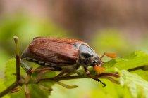 Käfer auf grünes Blatt, Maikäfer Fehler — Stockfoto