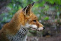 Primo piano della volpe rossa, distogliendo lo sguardo all'aperto — Foto stock