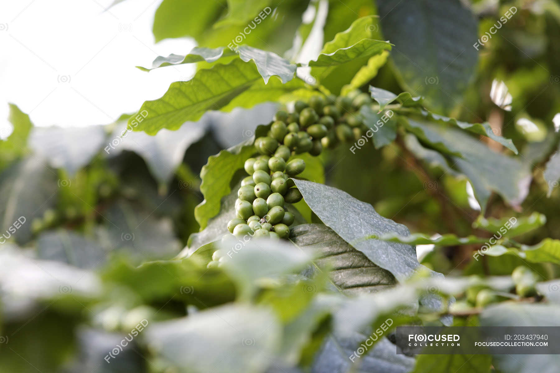 Growing Green Coffee Beans On Plant With Leaves Cultivate Raw
