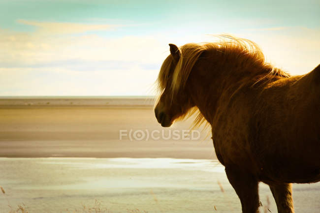 Icelandic horse with windblown mane on beach — Stock Photo