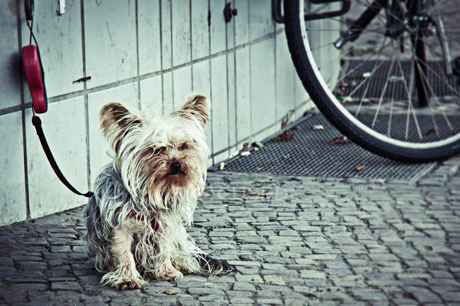 Despenteado Yorkshire terrier cachorro esperando o dono na rua — Fotografia de Stock