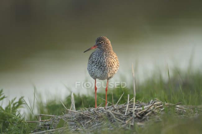 Redshank bird standing in field — Stock Photo