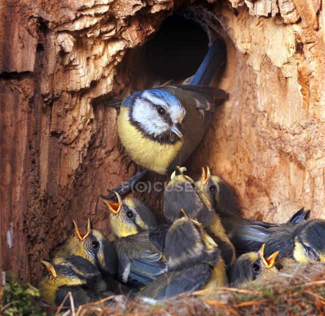 Животных семьи, Маорийская петроика птицы, мать птица кормления птенцов — стоковое фото