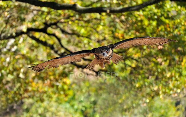 Flying eagle owl in forest foliage — Stock Photo