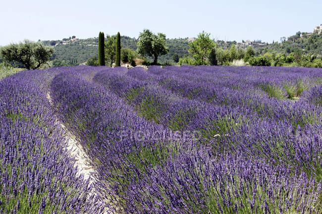 Провансі, фіолетовий lavender сфера — стокове фото