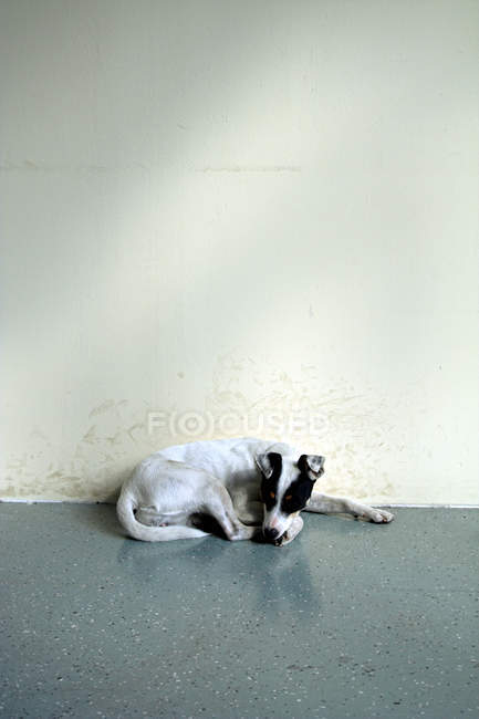 Jack russell terrier dog sleeping on floor at wall — Stock Photo