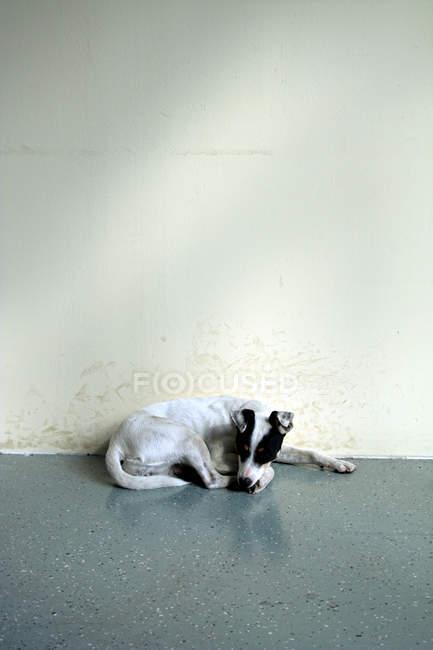 Jack russell terrier cachorro dormindo no chão na parede — Fotografia de Stock