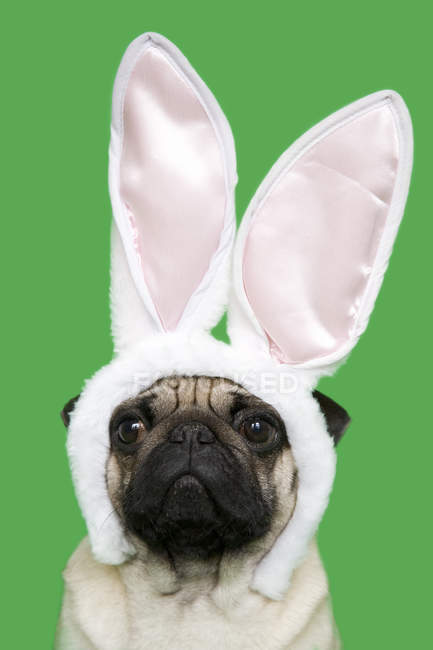 Adorable funny pug wearing rabbit ears — Stock Photo