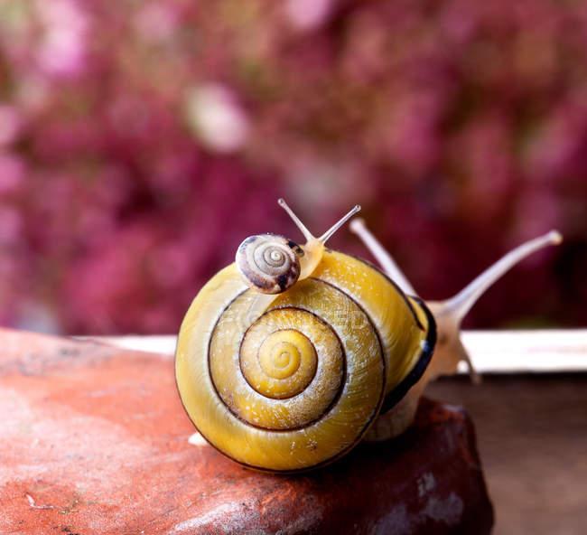 Deux escargots contre l'arrière-plan flou coloré rose — Photo de stock