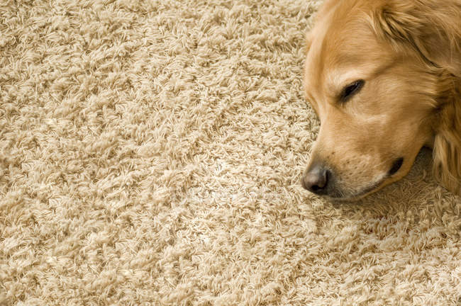 Chien golden retriever sur tapis de couchage — Photo de stock