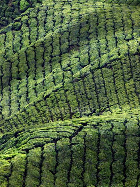 Plantation de thé vert, Cameron highlands, image plein cadre — Photo de stock